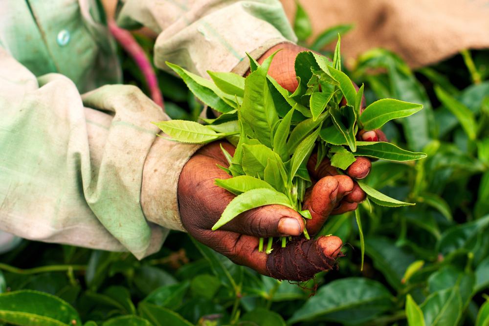 紅茶の産地と種類